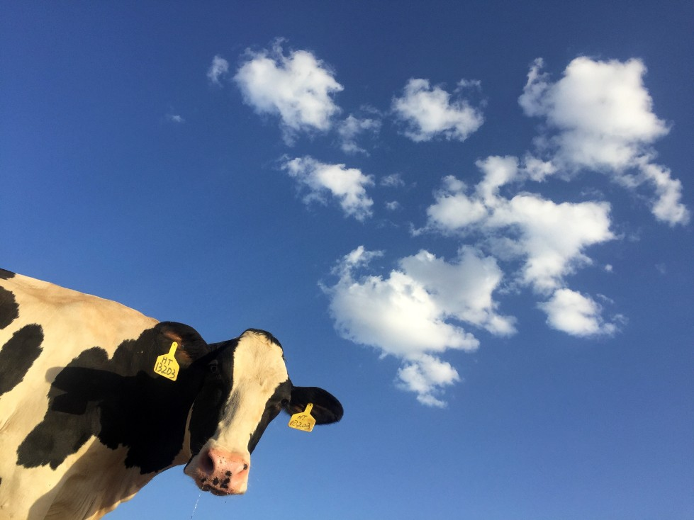 Nederlandse koeien